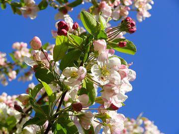 Appelboombloesems / Japanse appel van RaSch-BS_Design