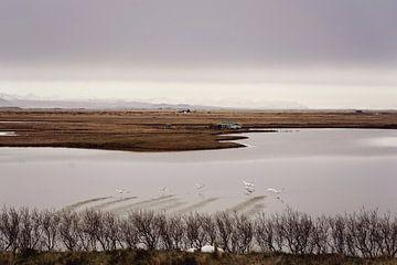 IJslandse zwanen van RUUDC Fotografie
