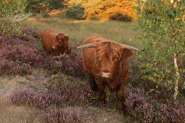 Schotse Hooglander op de heide von Jolien Oomes