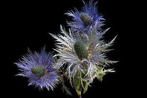 Eryngium alpinum of alpenkruisdistel van