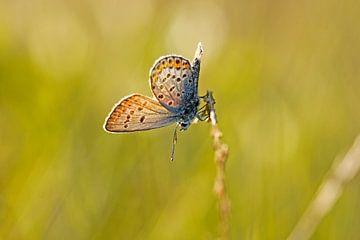 Heideblauwtje... von Tom Olthof