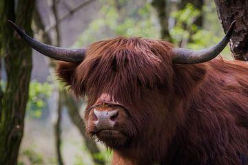 Schottischer Highlander von Mario Brussé