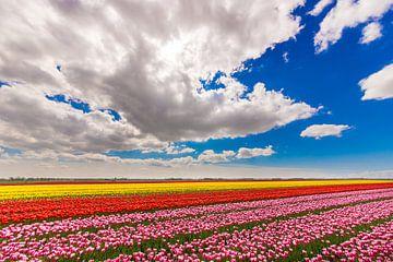 Feld mit Tulpen von mike van schoonderwalt