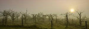 Boomgaard in de mist