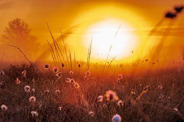 Katoengras in het ochtendlicht van Kurt Krause