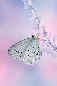 Schmetterling sur Violetta Honkisz