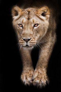 Gelbe Löwin Körper Vorderteil Stretching Beine von oben über Sie, schwarze Nacht Hintergrund von Michael Semenov