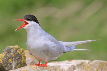 Arctic Tern von