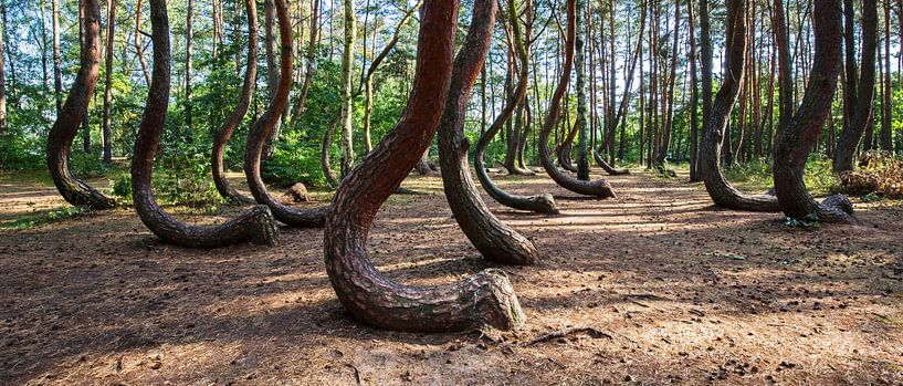 Forêt tordue (Krzywy Las) sur Frank Herrmann