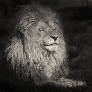 Lachende leeuw von Ellen van Schravendijk