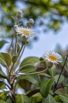 Witte bloem (onbekend) van Marly De Kok