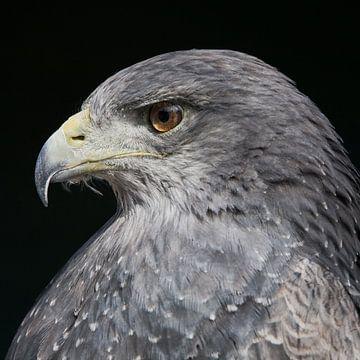 Eagle van Arie Storm