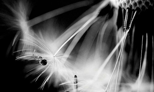 Het spinnetje op de paardenbloem von Ilja Kalle