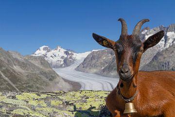 Ziege am Aletschgletscher, Schweiz von Sebastiaan Terlouw