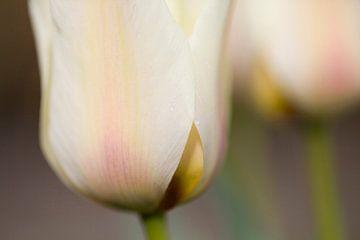 Tulip van Janny Kleijn