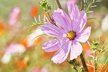 Mooie bloem met roze bloemblaadjes in een groot zonovergoten veld van Tony Vingerhoets