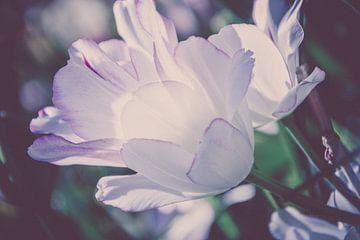 Tulpe von Valqueira van der Does