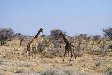 Giraffen von Merijn Loch