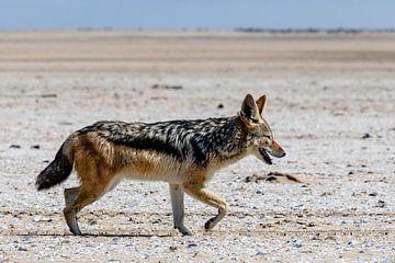 Jakhals op het strand - Namibië van