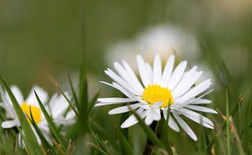 Madeliefje in het gras van Niels Eric Fotografie