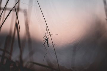 langbeinige Mücke im Web von Tania Perneel