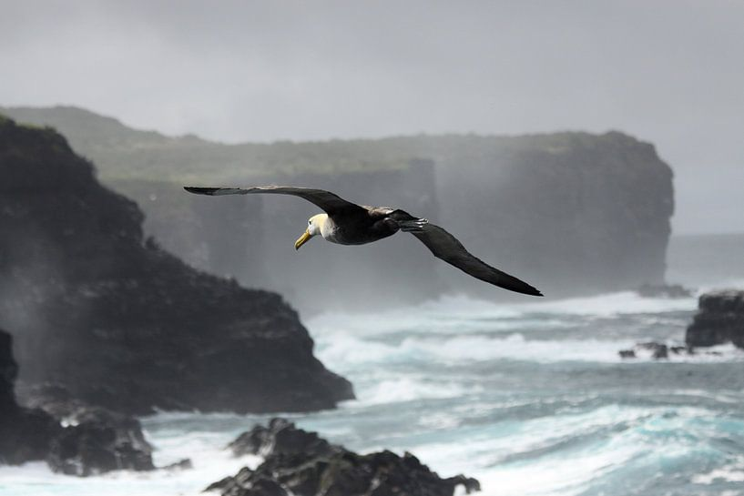 Galapagos albatros van Antwan Janssen