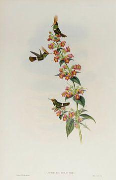 Kokette Kolibrie, John Gould van Teylers Museum