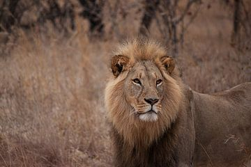 Leeuw op de uitkijk von Annette van den Berg
