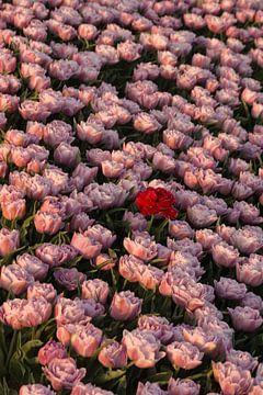 Tulpenfeld von Tanja de Mooij