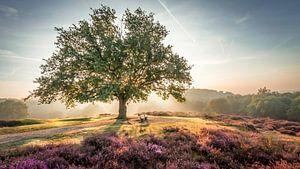 Stralende zon achter een boom op de paarse Mookerheide van