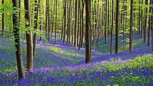 Hyazinthen in voller Blüte im Hallerbos in Belgien von Aagje de Jong