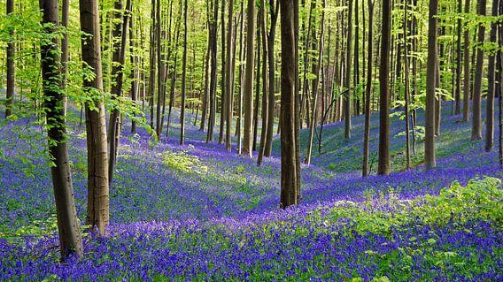 Hyacinthen in bloei in het Hallerbos in België van Aagje de Jong