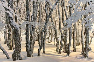 Bergbeukenbos in de winter van CSB-PHOTOGRAPHY