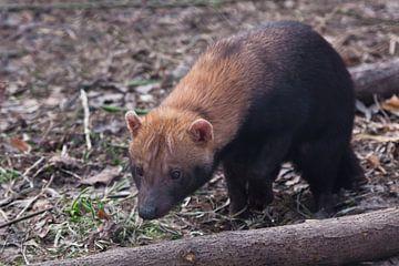 Neugierig buschigen Hund Tier von Südamerika schnüffeln den Boden, niedliche Tier. von Michael Semenov