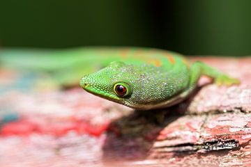 Madagaskar gekko close up von Dennis van de Water