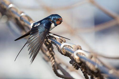 Vogels | Boerenzwaluw op de reling van een zeilboot - haven van Enkhuizen van