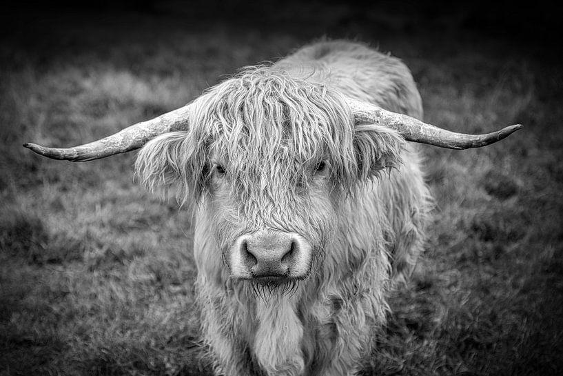 Schotse Hooglander zwart wit versie van Peter Bolman