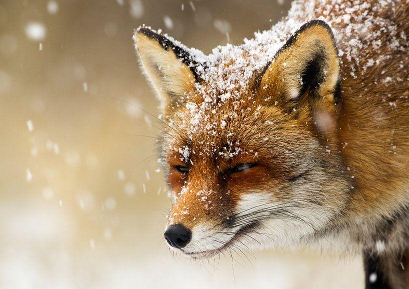 Fuchs im Schnee von Menno Schaefer