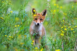 Foxy von Marcel Hillebrand