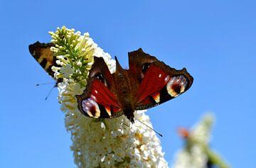 Dagpauwoog op vlinderstruik von Susan Dekker