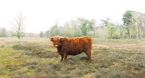 Schotse hooglander in de natuur