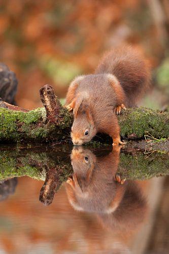 Eekhoorn in spiegelbeeld