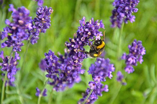 Bij op een lavendeltak