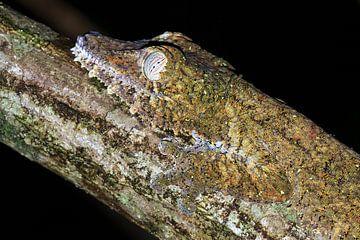 Madagaskarplatstaartgekko portret  van