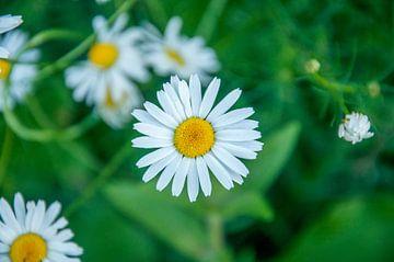 weißes Gänseblümchen mit zartgrünem Hintergrund von Photography by Naomi.K