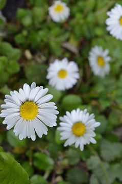 Gänseblümchen  von Gera Wijlens