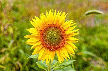 Sonnenblume in ihrer vollen Pracht von Fotografie Arthur van Leeuwen