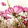 TENDER PINK BLOSSOMS v2 van Pia Schneider thumbnail