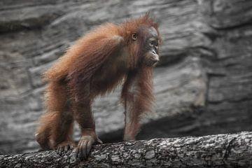 Een tiener orang-oetan loopt op een boomstam vastberaden en een jonge weelderige vacht van Michael Semenov
