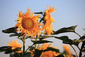 Sonnenblumen von Jana Behr